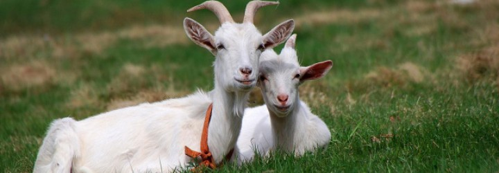 Animals_Beasts_Two_goats_029712_29