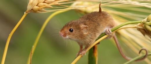 мышь-на-колоске