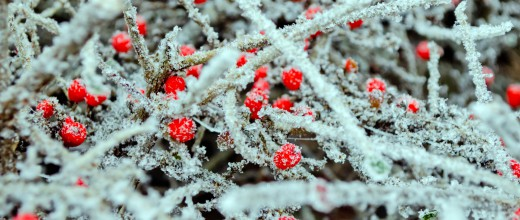red-berries-and-frost-1355565691ElQ
