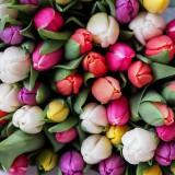 tulips-1246264_960_720